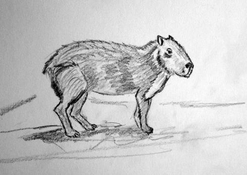 157 capibara