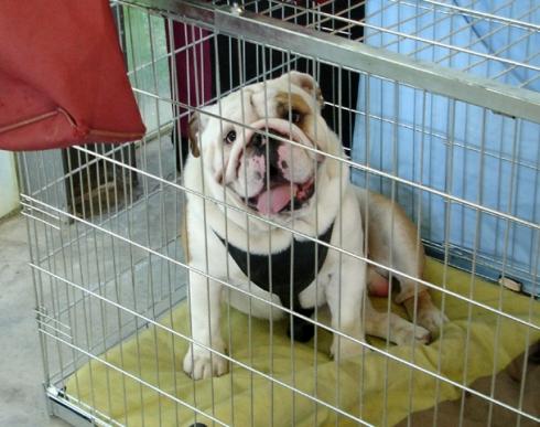 016 bulldog